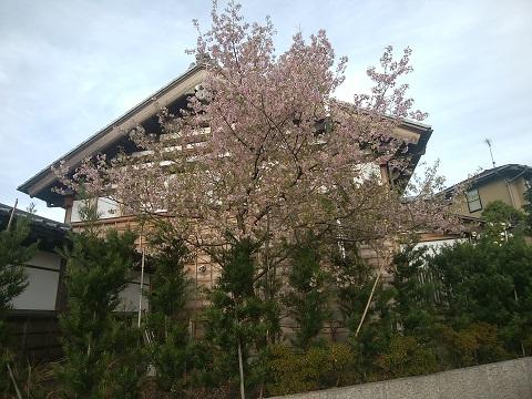 高願寺のヒマラヤ桜