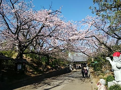 興禅寺安行寒桜