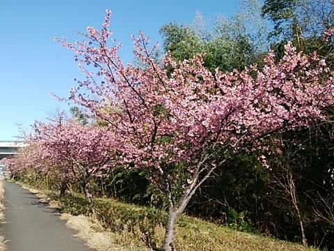 小机の鶴見川河津桜