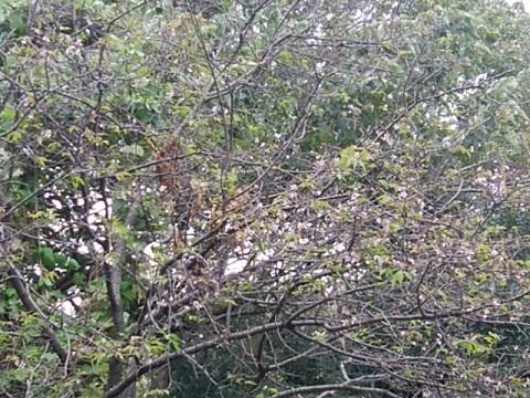 三ッ池公園狂い咲桜