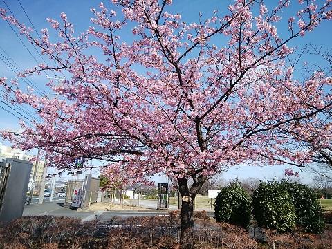 長坂谷公園横浜緋桜