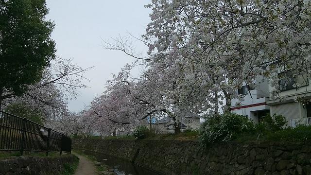 二ヶ領本川大島桜