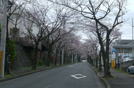 支援センター前桜並木