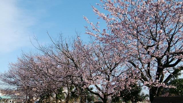 西方寺中日桜
