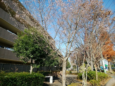 野川西蔵寺丸緑地十月桜
