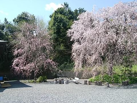 専念寺しだれ桜