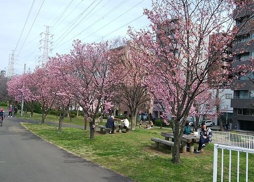 新横浜公園の横浜緋桜