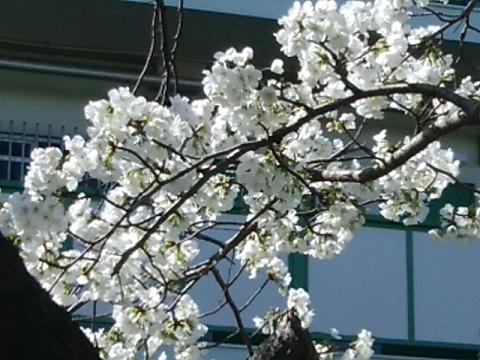 宿河原堤早咲桜