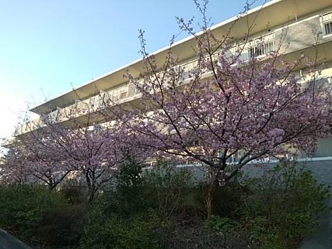 そんぽの家河津桜2020