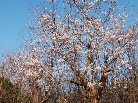 高田町の植木畑の寒桜