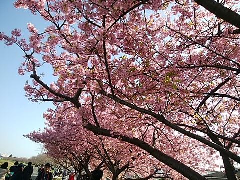等々力土手河津桜