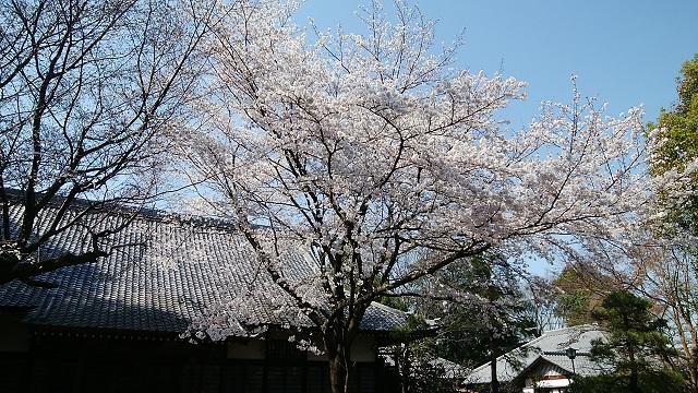 東光院江戸彼岸桜