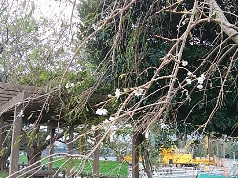 等々力土手八重紅枝垂れ桜狂い咲