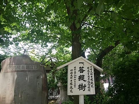 川崎大師菩提樹