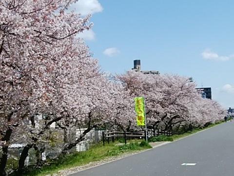 左岸大師橋~六郷橋桜並木