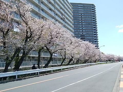 タワーふれあい公園桜並木